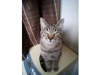 9 MONTH CAT LOST MALE LOST ON WEDNESDAY 26TH IN LIMEHOUSE AREA, PLEASE HELP