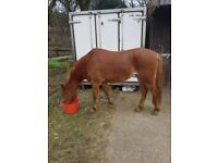 13.2hh great little pony