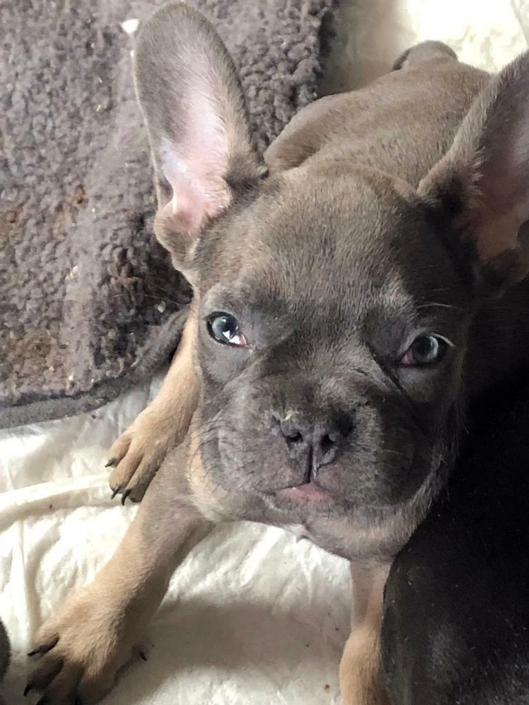 French Bulldog Puppies Prices Reduced In Barry Vale Of