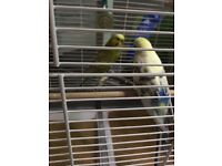 Budgies plus cage