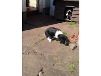 Springer spaniel x collie puppies for sale