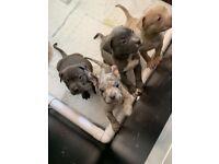 American Xl bully puppy's