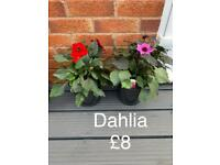 Plants for sale - flowers- shrubs - every green starting from £8