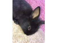 Baby Bunnies For Sale!!!