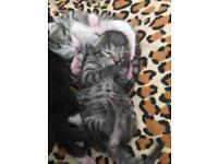 Kittens (half Bengal)