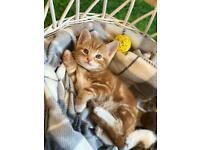 Ginger kitten (1 available )