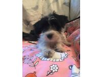 JackaPoo Boy Puppy