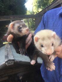 9 week old ferrets for sale