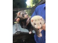 9 week old ferrets for sale
