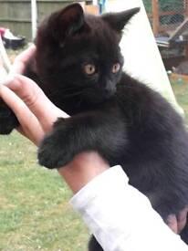 British short haired cross kittens