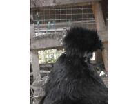 3 bantam hens for sale - 2 Black Silkie, 1 Porcelain Pekin