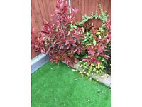Photinia × fraseri 'Red Robin' shrub/plant