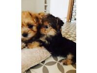 Beautiful Yorkshire Terrier x Maltese Puppies