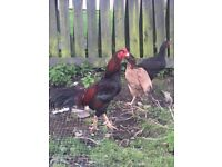 Aseel/Asil chicken male