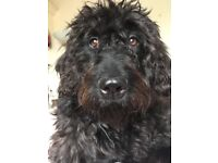 F3 Labradoodle puppies for sale! Waiting list now open