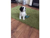 6 Month Old Cockapoo for sale to a loving home!