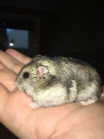 Male Russian dwarf hamster with cage and food
