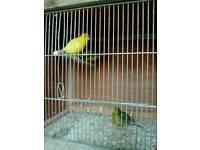 Canarys
