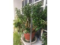 Big money plant / Jade Plant