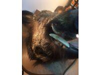 Taxidermy wild boar