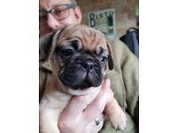Stunning looking pug/frenchie ..FRUG
