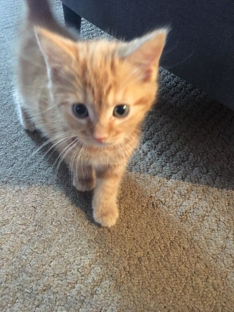 8 Week Old American Short Hair Ginger Kitten Male In