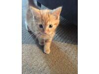 8 week old American short hair (ginger) kitten male