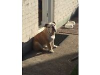 Bentley Kc reg bulldog puppy house trained 7 months old lovely dog great with animals and children