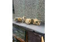 7 beautiful lionhead lop cross baby rabbits for sale