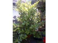 large Cherry Laurel plant in a pot
