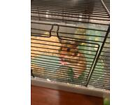 Baby Syrian hamster with cage and accessories