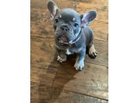 1 beautiful french bulldog girl