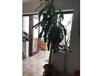 Yucca palm - Xlarge