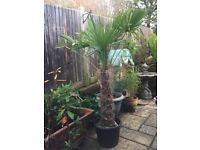 Price Reduced. MUST GO! Lovely Large Gorgeous Trachycarpus Fortunei Palm Tree