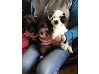 Yorkshire terrier cross bred puppies