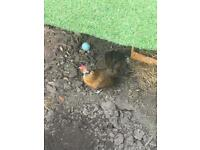 Chickens (bantam)