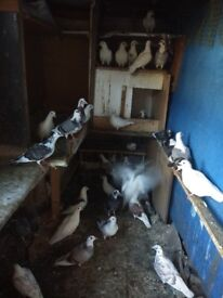 2 Pigeons for £10 (MONEY GOES TO CHARITY)