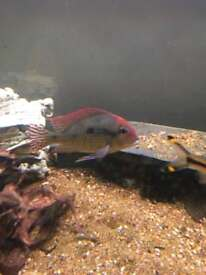 Geophagus red head Tapajós