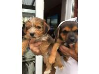 Terrier puppies