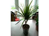 Dragon tree/Dracaena marginata