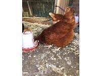 Various Chicken Hens