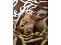 Full bred chihuahua girl pup