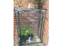 Greenhouse with Jalapeño plant and watering can