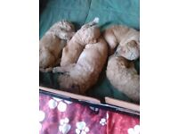 Standard Poodle Puppies 2 girls 4 boys