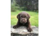 Lovable Chocolate and Black Labrador Puppies