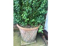 2 medium size boxus trees in pots