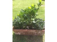 Buxus and other plants in pot