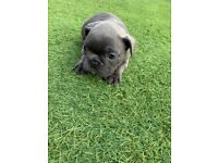 2 GIRLS REMAINING KC REGISTERED FRENCH BULLDOGS