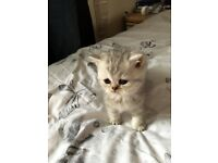 Two exotic short hair Persian kittens for sale