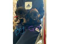 Bulldog cross puppies for sale